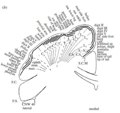 Simian Homunculus