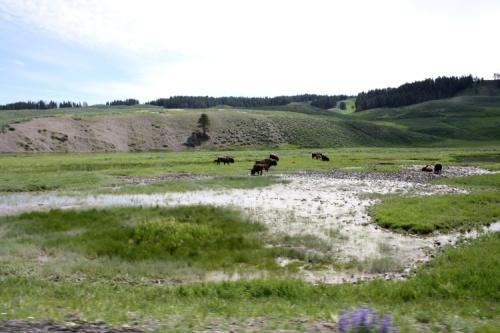 More Bison